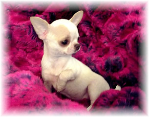 Chiot Chihuahua Couverture 1