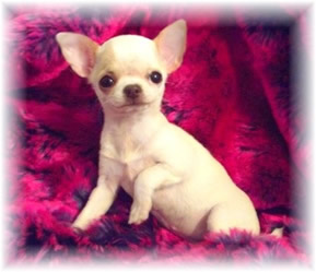 Chiot Chihuahua Couverture 2