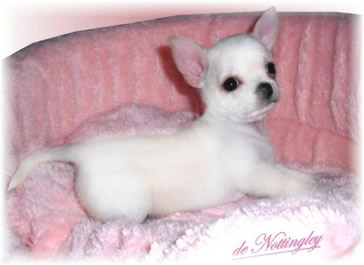 chiot chihuahua poil court blanc