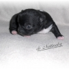 chiot-chihuahua-fevrier-2013-2