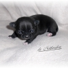 chiot-chihuahua-fevrier-2013-3