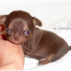 291945-zoom-chiot-chihuahua-typ