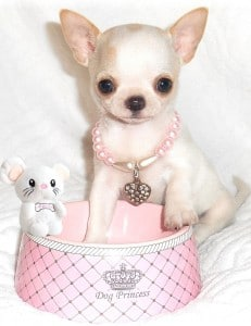 chiot femelle chihuahua poil court 2015